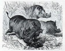 C4153 Porco verrucoso - Phacochoerus africanus - Xilografia - 1931 old engraving