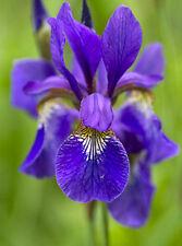 15 Samen Sibirische Schwertlilie (Iris sibirica), Mix, winterhart, Prachtstaude