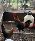 ❤️ 10 RARE ~ Ayam Ketawa ~ Laughing Chicken Hatching Eggs ❤️Greenfire Farms