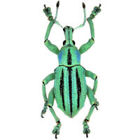 Eupholus cutieri ONE REAL WEEVIL BEETLE BLUE GREEN INDONESIA