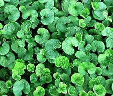 DICHONDRA Dichondra Repens - 1,000 Bulk Seeds
