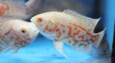 Live Albino Tiger Oscar Cichlid for fish tank aquarium