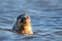 Grey Seal in the Water Photo Art Print Poster 18x12 inch