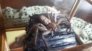 HUNTSMAN Spider on Black Tourmaline Glass Mirror Box Display Taxidermy Oddity