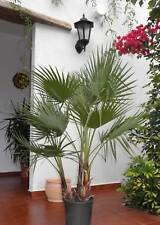 2 PLANTAS DE WASHINGTONIA ROBUSTA EN CONJUNTO DE DOS.