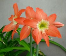 3 Amaryllis Lily Bulb, Hippeastrum Puniceum, Easter Lily Cocoa Lily Flower Size
