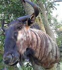 AFRICAN Blue WILDEBEEST Taxidermy Shoulder MOUNT Big Game
