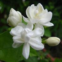 20pcs Cape Jasmine Jasminiodes White Shrub Aromatic Flower Seeds Plant Pr rlll