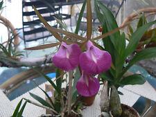 Orchid Cattleya Bc Star Ruby Xanadu in spike or near Exotic Tropical Plant