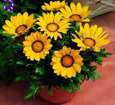 Flower Seed: Gazania Yellow Kiss 30 Seeds  Fresh Seed  FREE Shipping