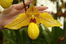 Zapatilla planta de orquídea híbrida Paphiopedilum dollgoldi