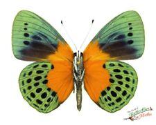 real butterfly Orange Based Banner Asterope degandii degandii SETx1 specimen US