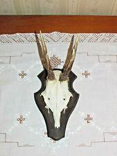Trofeo di  caccia capriolo scudo corna no cervo alce camoscio daino cinghiale