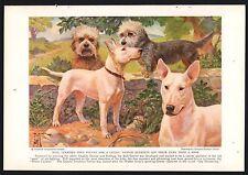 1936 Bull Terrier and Dandie Dinmont Vintage Print Page Edward Herbert Miner Art