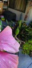*live* Cat Mantis h. Orientallis