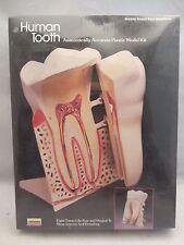 Lindberg  Human Tooth Model Kit  NIB Sealed  8 Times Life-Size  (615H)  1341