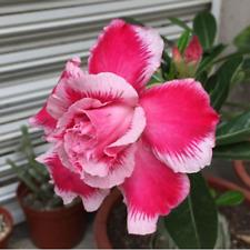 5 pcs Desert Rose Flower Adenium obesum Seeds  #A089
