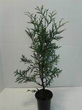 10 - Thuja Green Giants Fast Growing Evergreen Trees  in 4 Inch Pots