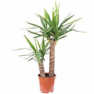 Palmlilie 2-stämmig - Yucca Elephantipes Palme 45/20 - Höhe ca. 80 cm, Topf-Ø 17