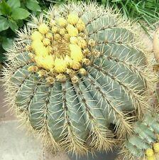 Ferocactus glaucescens cacti rare cactus seed 20 Seeds