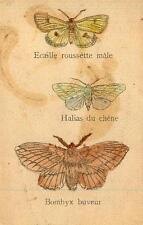 PAPILLONS Ecaille roussette mâle - Halias du chêne - Bombyx buveur