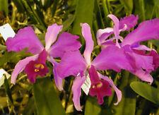 Orchid Cattleya lawrenceana x sib (M) 31 sr