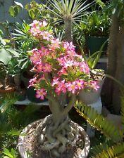 20 Seeds - Adenium Obesum Desert Rose cactus succulent