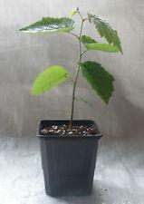 Common Dogwood, Cornus Sanguinea Container Grown in Pots
