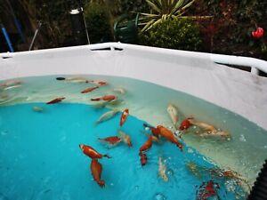 Goldfish pond fish