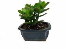 "Crassula Jade Live Plant Easy to Grow 4x4x2"" Ceramic Pot Best Gift Indoor Home"