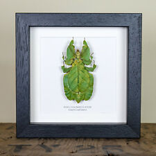 Grays Leaf Insect in Box Frame (Colotis Bioculatum) Insect Taxidermy