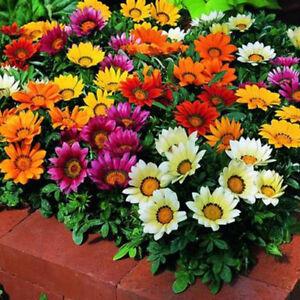 Seeds Gazania Mix Flower Plant Oudoor Balcony Annual Garden Cut Organic Ukraine