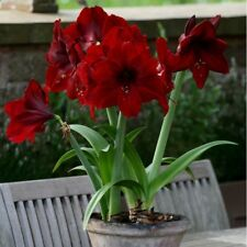 100pcs Seeds Hippeastrum Mixed Colors Best Collection Bonsai Plant House Garden