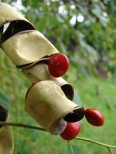 INDIAN RED SANDALWOOD TREE SEEDS - Red Chandan Seeds - Red Sanders - 25 Seeds