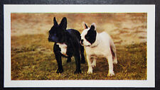 French Bulldog Pair    Vintage 1960's  Photo Card  ##  Excellent Condition