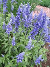 BLUE SAGE Salvia farinacea✿500 SEEDS✿Mealy Mealycup Sage✿Cut & Dried Flowers
