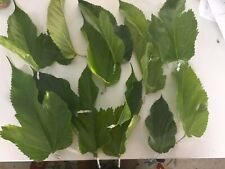 20 Fresh Mulberry leaves (For Silkworms) (Professionally Packaged for Freshness)