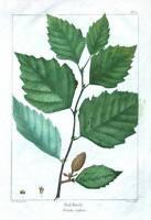 RED BIRCH, BETULA RUBRA, USA Redoute Antique Botanical Tree Print c1850