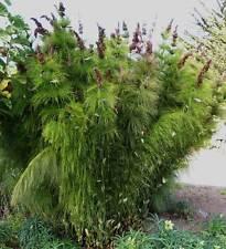 Elegia Capensis - 20 Seeds - Unusual Restio ( Bamboo / Grass )