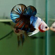 New listing Live Betta Fish Galaxy Half White Fancy Blue Hmpk Premium Grade Thailand