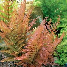Hardy stumpery 6 AGM Fern collection Holly; Maidenhair; Copper Fern; Painted AGM