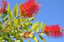 EXOT Blüten Rarität Saatgut seltene Garten Balkon Pflanze ZYLINDERPUTZER