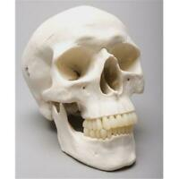 Skeletons and More SM200D 2nd Class Harvey Skull