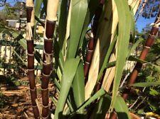 1 Black Badilla Sugarcane Cutting~Sweet &Juice~Easy Peel and Chew~Green leaf