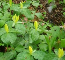 5 Yellow Trillium T. Luteum BULBS ROOTS NATIVE WOODLAND WILDFLOWERS