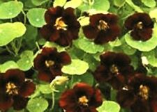 30+ Nasturtium Black Velvet Flower Seeds  / Long Blooming Reseeding Annual