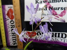 BIN-Neostylis Baby Angel -Easy to grow Collectors item! Limited Stock! Must Have
