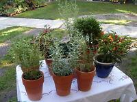MÖNCHSPFEFFER, Pfeffer,Vitex agnus-castus, blaue Blüten, winterhart Baum