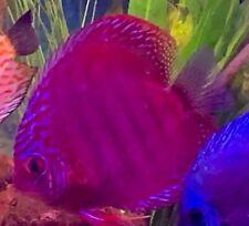 life discus fish