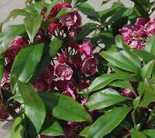 Kalmia latifolia Yankee Doodle, Berglorbeer, Blüte weiß-dunkelrosa, immergrün